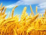 Пшеница мягкая - photo 1