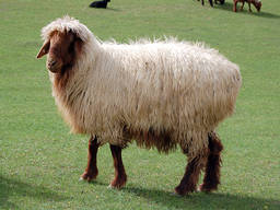 Шерсть овечья